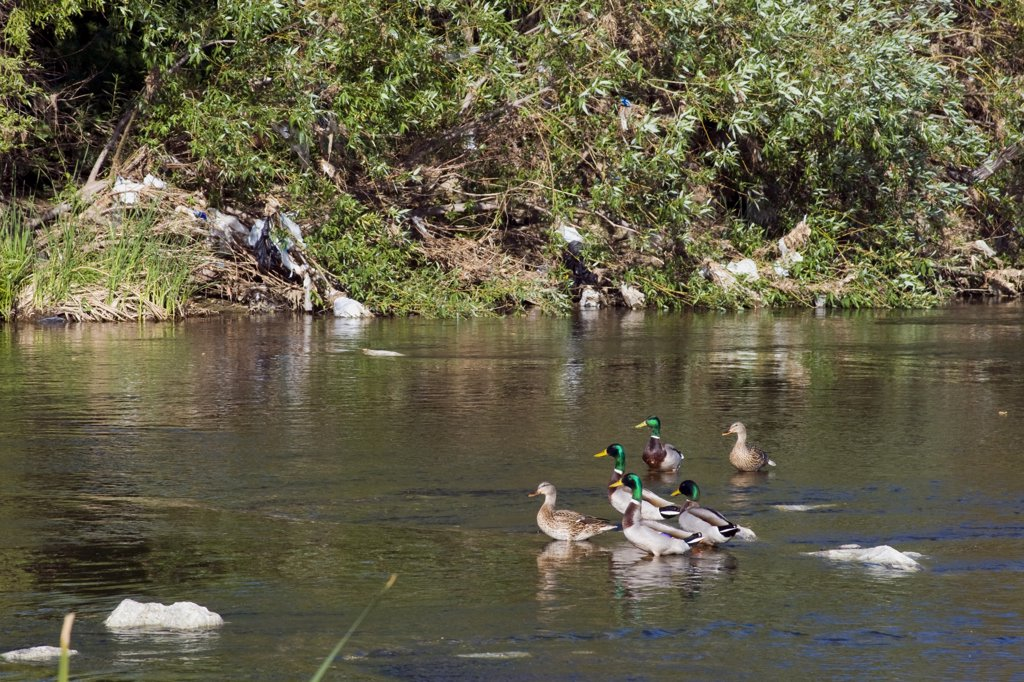 Stock Photo: 1899-24170 Pollution in the Los Angeles River, USA. Ducks with plastic bags left behind from recent runoff in the LA River at the Sepulveda Basin Wildlife Area. San Fernando Valley, California, USA.