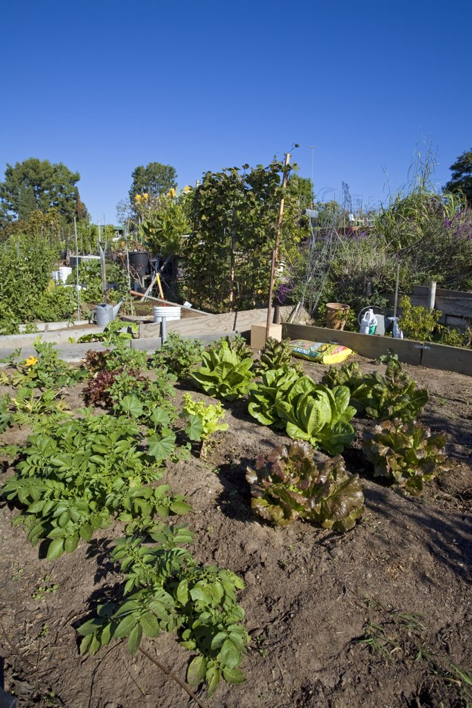 Community Garden. Ocean View Farms Community Garden, West Los Angeles, California, USA : Stock Photo