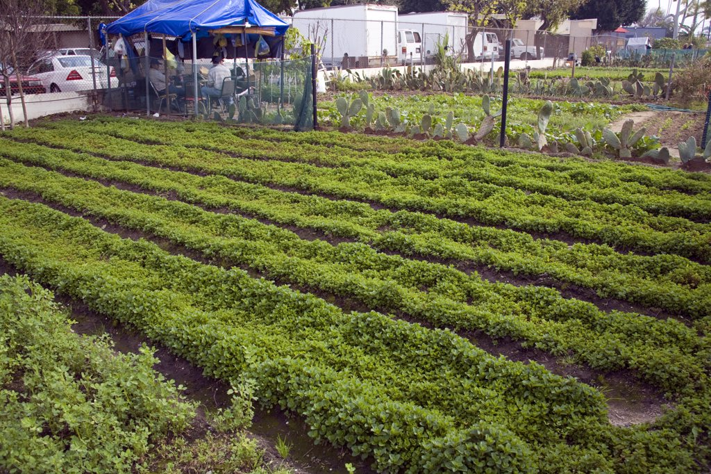Stanford Avalon Gardens. Stanford Avalon Gardens is a 7.6 acre community farm with over 200 plots. The site was started by farmers dislocated by the loss and bulldozing of the South-Central Urban Farm in 2006. Farmers grow many different fruits and vegetables as well as Mexican herbs and spices such as Halache, Pipicha, Epazote, Papalo and Chipiline. Watts, Los Angeles, California, USA : Stock Photo