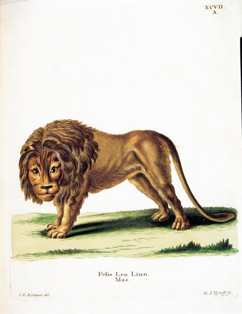 Color lithographs with African animals, by Unknown, 18th Century, litography. Italy, private collection. All lion grassland environment savannah inscription Felis Leo brown green. : Stock Photo