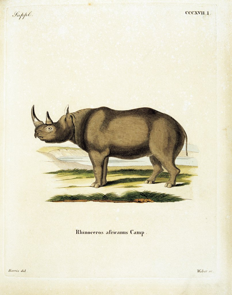 Color lithographs with African animals, by Unknown, 18th Century, litography. Italy, private collection. All rhinoceros: rhino horn landscape environment savannah inscription Rhinoceros Africanus brown green gray. : Stock Photo