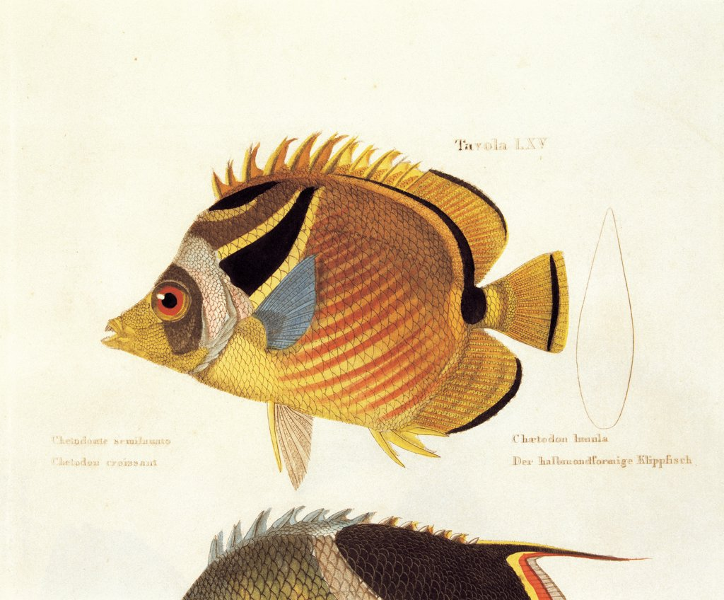 Stock Photo: 1899-31069 Color lithographs with fishes, by Unknown, 1830, 19th Century, litography. Italy, private collection. Whole artwork. Butterfly-fish inscription Chaetodon lunula scales fins: flippers stripes tail yellow light blue: azure orange.