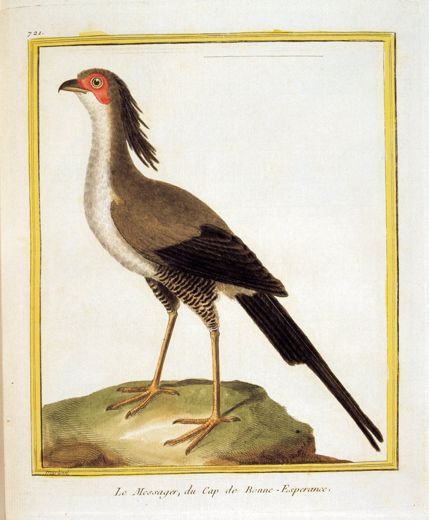 Color lithographs with African animals, by Unknown, 18th Century, litography. Italy, private collection. Whole artwork. Bird resting: standing: perching on a rock stone hornbill Latin inscription in italics stating the species buceros rhinoceros red head beak: bill crest: comb tail. : Stock Photo