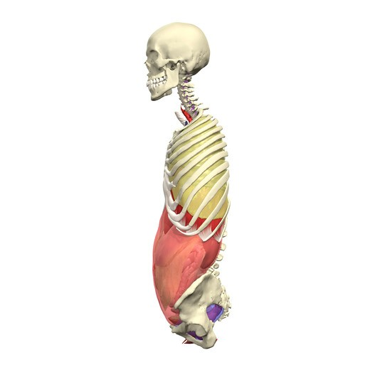 Abdominal, thoracic and pelvic cavities Lateral view : Stock Photo