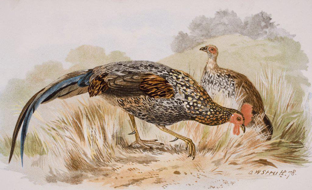 The Grey Jungle Fowl, or Sonnerat's Junglefowl, Gallus Sonnerati. : Stock Photo