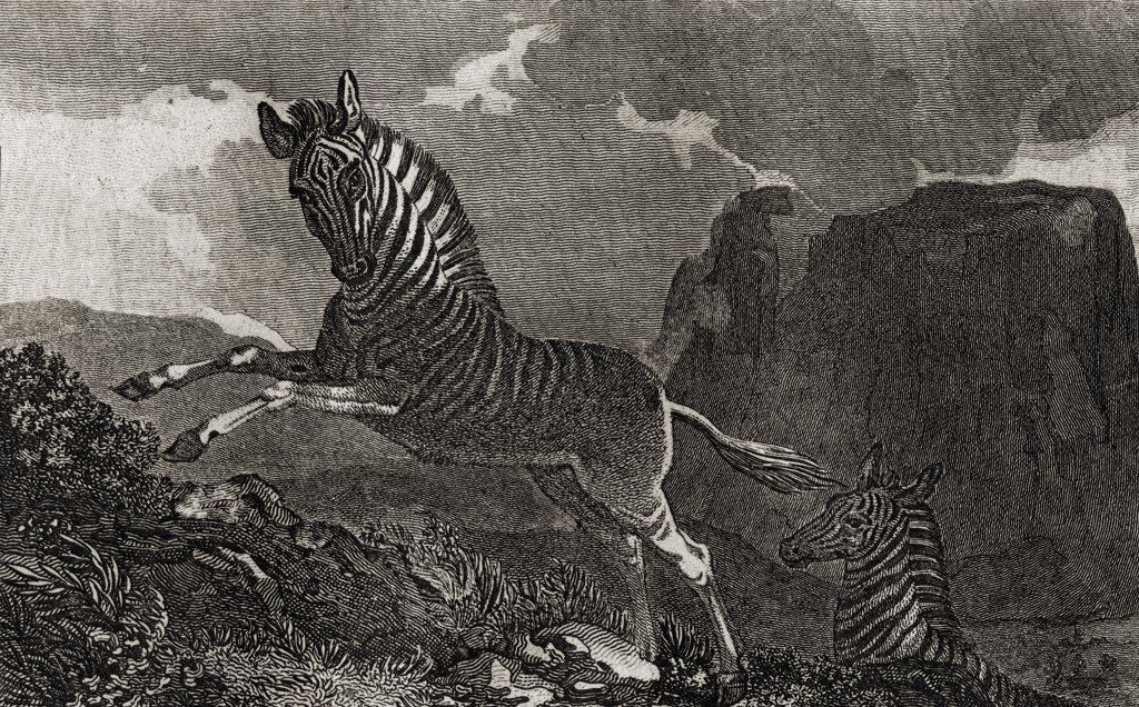 "Quagga. Equus Quagga with a view of the Table Mountain at the Cape of Good Hope Engraved by Scott after Craig. From the book """"The Gallery of Nature and Art"""" volume II. Published London c.1823. : Stock Photo"