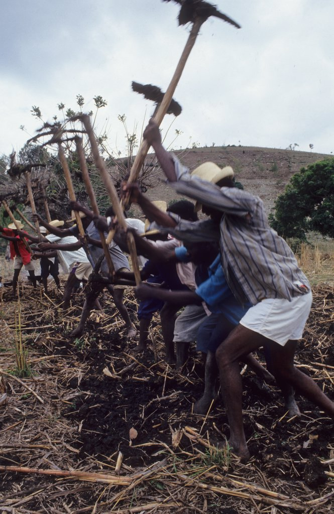 Stock Photo: 1899-43623 PEASANT FARMING, HAITI. Central Plateau. Villagers working together from sunrise to sunset, preparing the ground for planting. . These occasions are known as Konbits. An elderly man beats a rhythm on a drum.