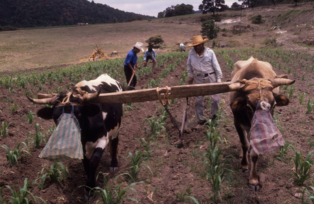 RURAL LIFE, MEXICO. Texcoco. . These farmers may soon be homeless and will probably end up living on the streets of Mexico City. They are tenant farmers and the land they farm has been sold to a property company.  : Stock Photo