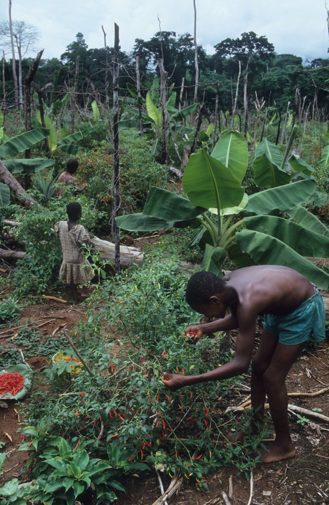 Stock Photo: 1899-43755 AGRICULTURE, NIGERIA. Harvesting crops grown on deforested land by slash and burn agriculturalists. .