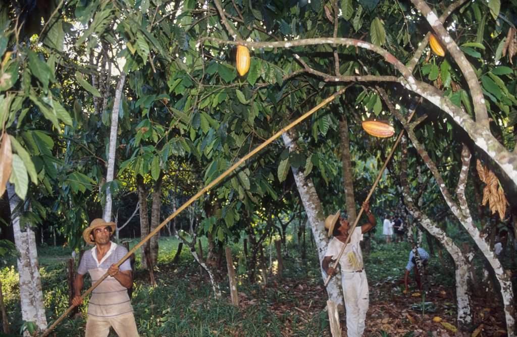 HARVESTING COCO, BRAZIL. Amazon. Tome-Acu, vicinity Paragominas. . A Japanese agro-forestry farm carved out of the forest 40 years ago. A very successful example of sustainable farming in the Amazon.  : Stock Photo