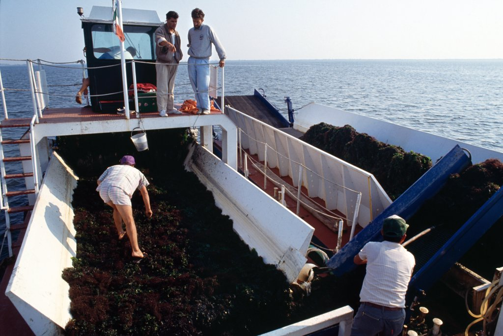 ITALY, Po Delta. Goro, vicinity Ferrara. Harvesting mussels. First introduced in 1986. . An Asiatic species of mussel (Tapes semidecussatus) has become the main source of income for many local people.  : Stock Photo
