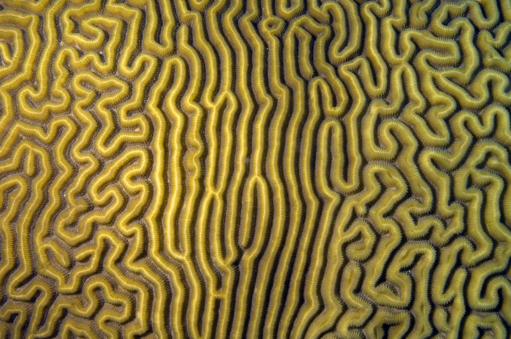 Close up view of grooved brain coral with varying pattern. Diploria labyrinthiformis.  Curacao, Netherlands Antilles : Stock Photo