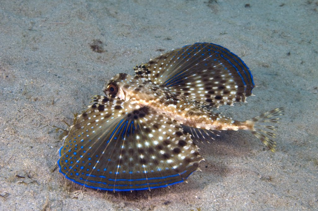 Stock Photo: 1899-47934 Flying gurnard with wings fully extended. Dactylopterus volitans.  Curacao, Netherlands Antilles