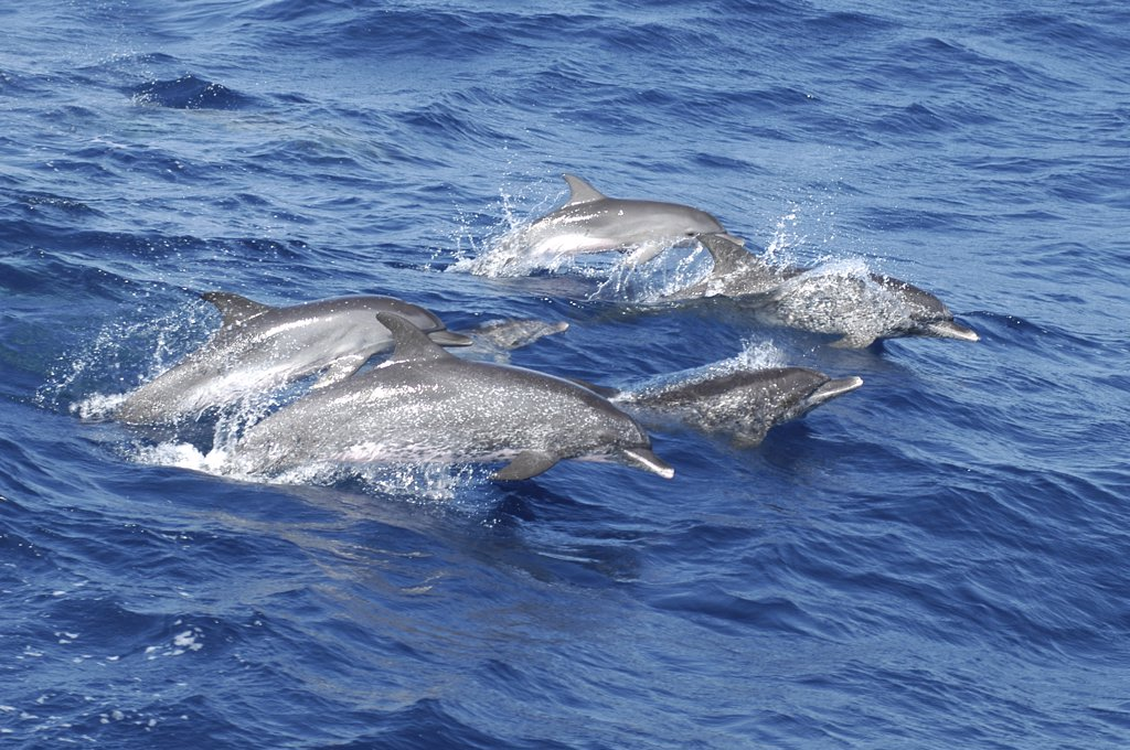 Pod of pantropical spotted dolphins on the move.  Stenella attenuata. Characteristic white-tipped lips evident. Young dolphin at top of group has not yet developed these spots. Curacao, Netherlands Antilles : Stock Photo