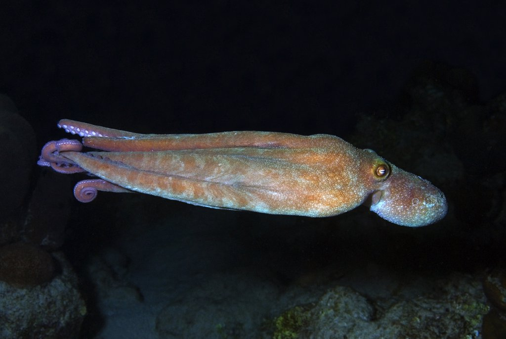 Free swimming Caribbean reef octopus out at night. Octopus briareus.  Curacao, Netherlands Antilles. . . . : Stock Photo