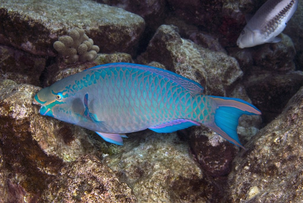 Stock Photo: 1899-48453 Queen parrotfish feeding on coral. Scarus vetula.  Curacao, Netherlands Antilles. . . .