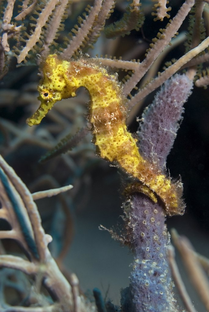 Stock Photo: 1899-48483 Portrait of a yellow longsnout seahorse on a sponge. Hippocampus reidi.  Curacao, Netherlands Antilles. . . .