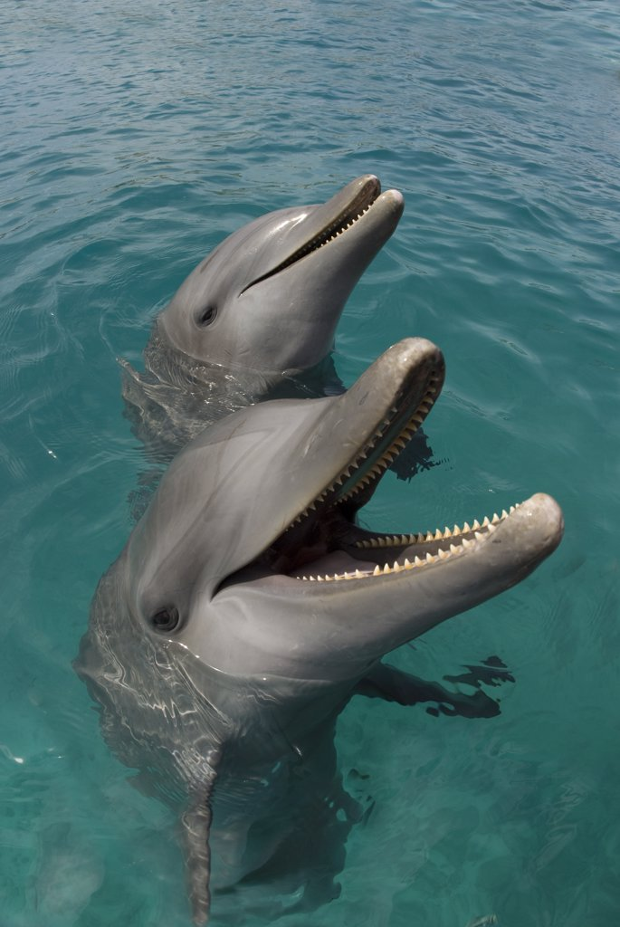 Stock Photo: 1899-48965 Portrait of two Atlantic bottlenose dolphins (Tursiops truncatus).  Curacao, Netherlands Antilles.