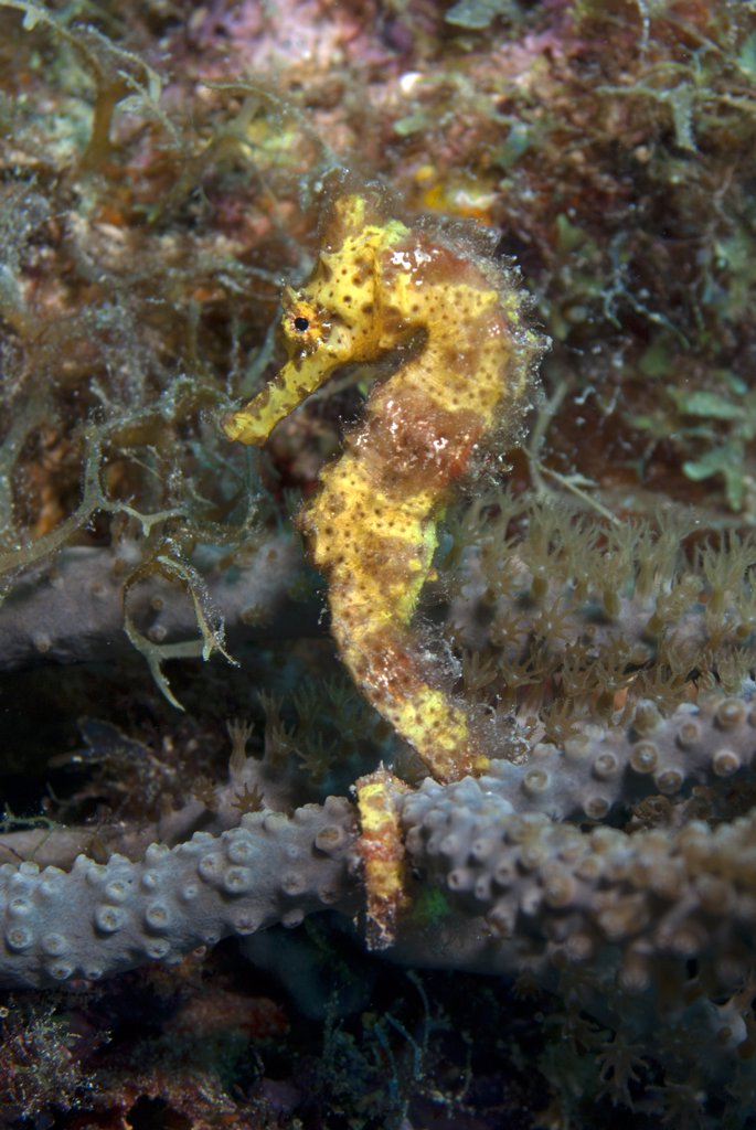 Portrait of a longsnout seahorse (Hippocampus reidi).  Curacao, Netherlands Antilles. : Stock Photo