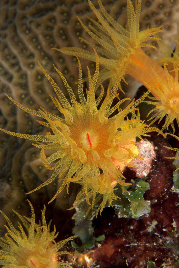 Close-up of an orange cup coral polyp (Tubastraea coccinea). Curacao, Netherlands Antilles. : Stock Photo