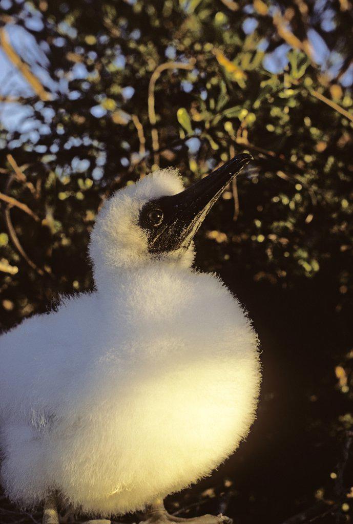 Downy red-footed booby chick at sundown. Sula sula sula.  North coast of Mona Island, Mona Passage, Commonwealth of Puerto Rico, USA. : Stock Photo