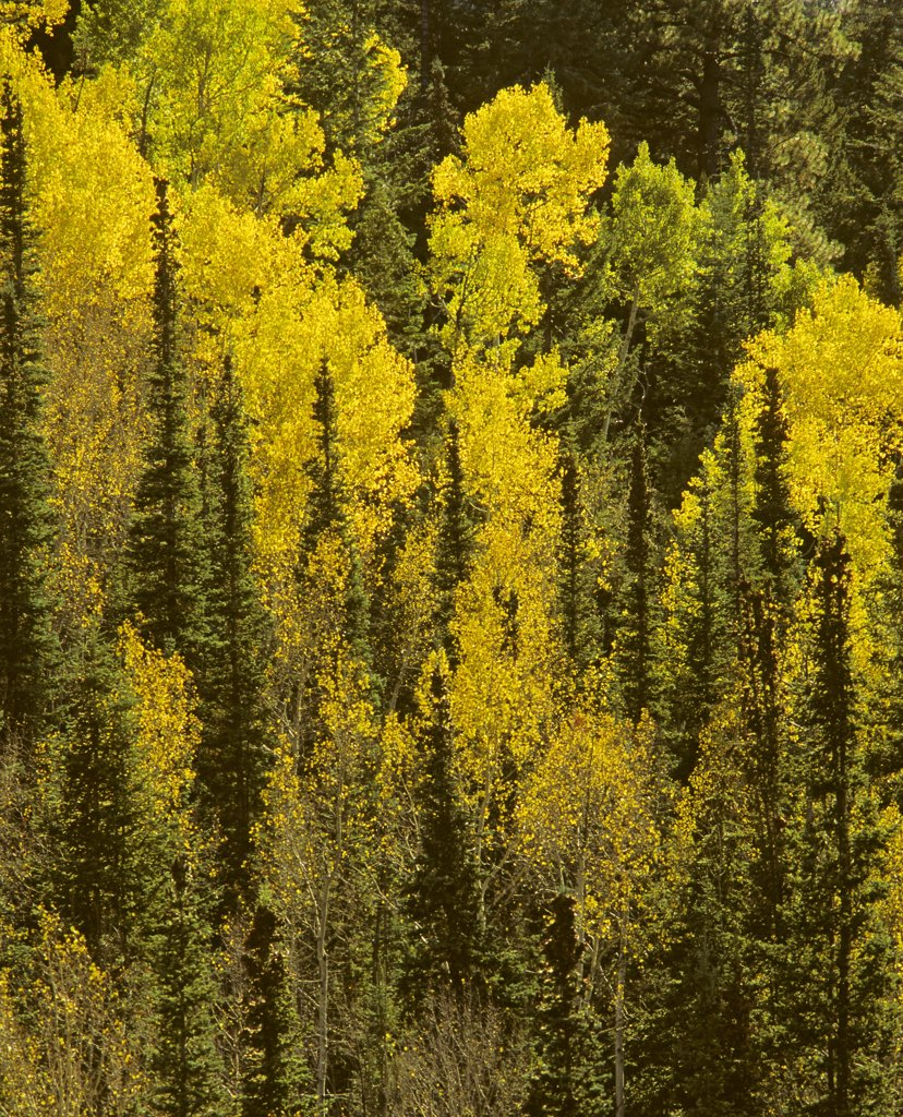 Stock Photo: 1899-49744 Steep slope of the North Rim of Grand Canyon in autumn, forested with spruce, fir, and quaking aspen trees. Populus tremuloides.  Kaibab Plateau, Grand Canyon National Park, Arizona, USA.