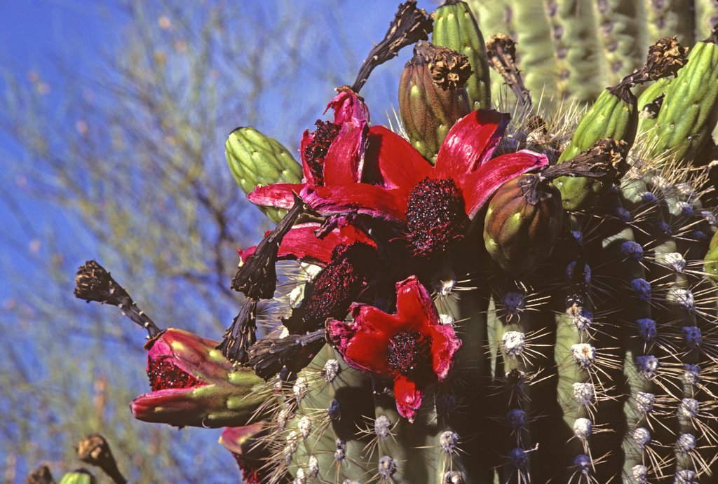 Stock Photo: 1899-49768 Cluster of ripe fruit of the saguaro cactus.  Carnegiea gigantea. Synonym: Cereus giganteus. Fruit husk splits open and curls back to reveal a sweet juicy mass of tiny black seeds inside, an important food for Sonoran Desert wildlife during the height of the summer dry season (June). Saguaro National Park, Tucson, Arizona, USA.