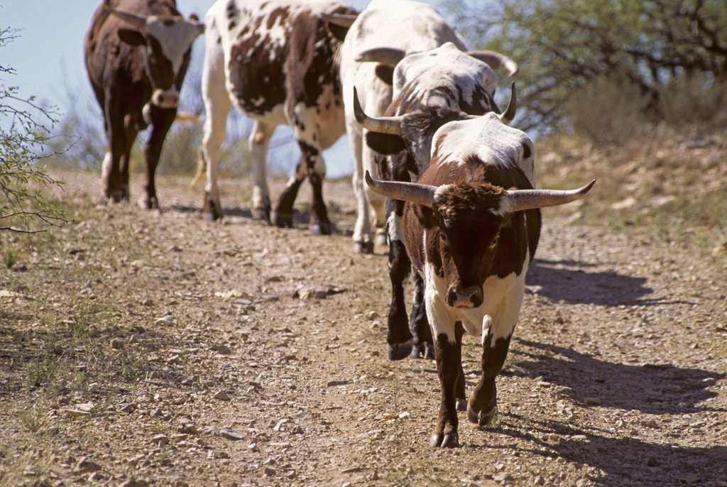 Stock Photo: 1899-49864 Line of registered Texas longhorn cattle. Bos taurus. Synonyms include Bos primigenius taurus, Bos primigenius indicus, Bos primigenius primigenius. Cattle owned by Dan Bates, Cobra Ranch, Agro Land and Cattle Company. Galiuro Mountains, Arizona, USA.