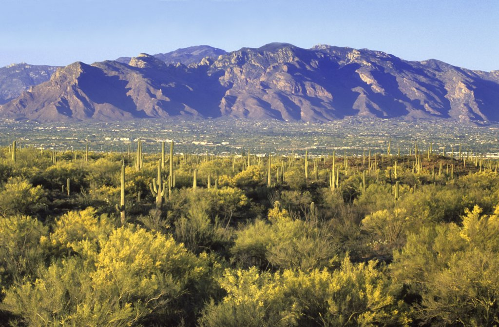 Stock Photo: 1899-49954 Springtime in Sweetwater Preserve, a 700-acre county park created in 2004, featuring blooming foothill palo verde trees and saguaro cactus. City of Tucson and the Santa Catalina Mountains in background. Cercidium microphyllum. Saguaro: Carnegiea gigantea. Synonym: Cereus giganteus.  Sonoran Desert, Tucson Mountains, Pima County, Arizona, USA.