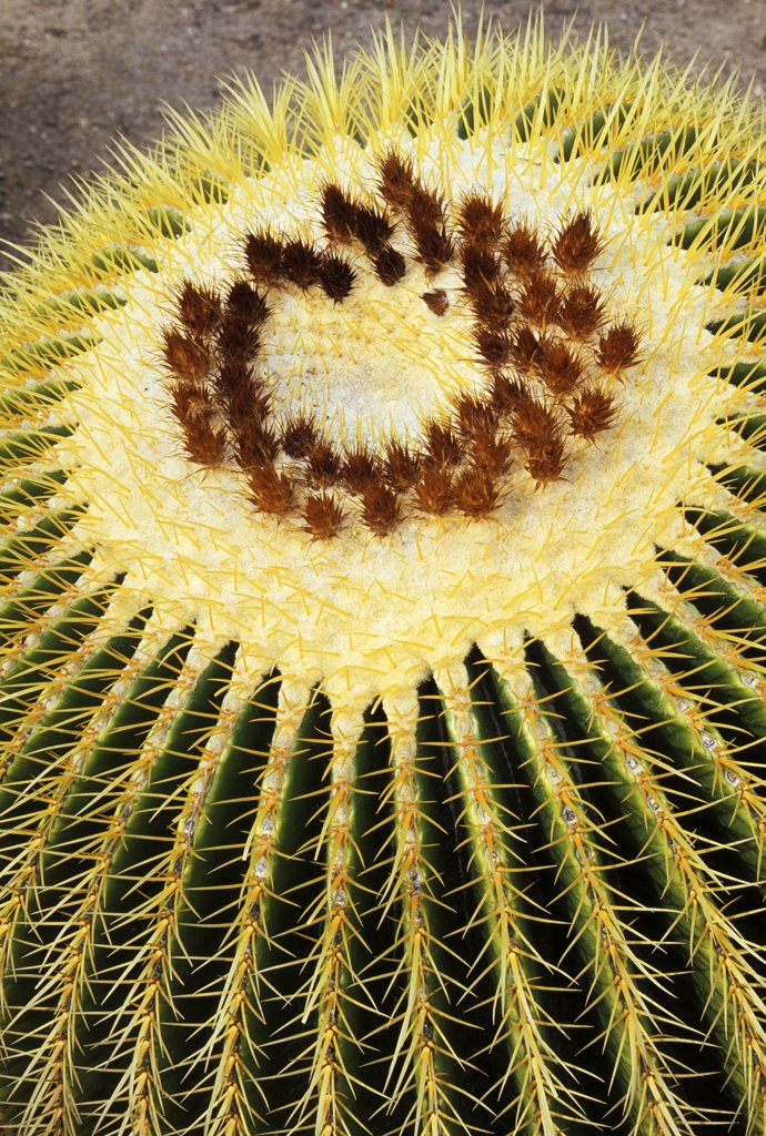 Golden barrel cactus, a successfully cultivated species that is nearing extinction in the wild because of habitat destruction and illegal collecting. Echinocactus grusonii. Native to the Chihuahuan Desert of Queretaro, Mexico. Huntington Botanical Gardens, San Marino, California, USA. : Stock Photo