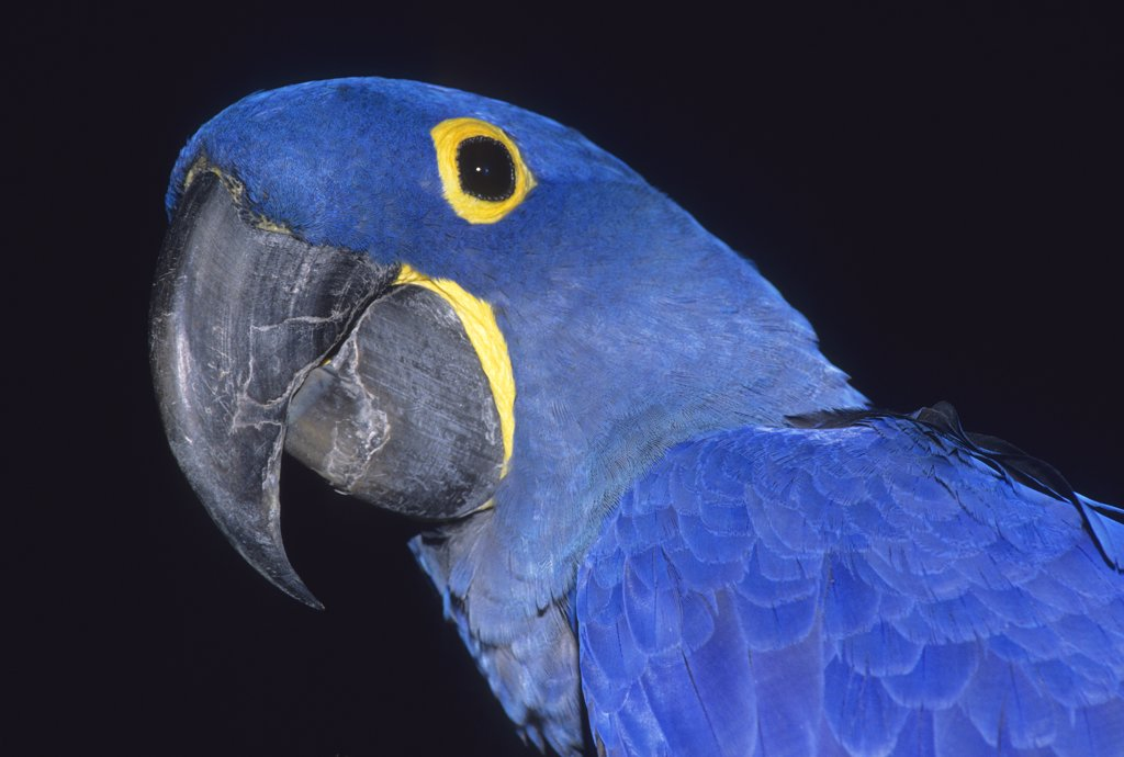 Stock Photo: 1899-50098 Captive hyacinth macaw, an Endangered species and the largest macaw. Anodorhynchus hyacinthinus. Native to subtropical and tropical forests and grasslands of Brazil and small neighboring regions of Bolivia and Paraguay. Sarasota Jungle Garden, Sarasota, Florida, USA. Photographed under controlled conditions