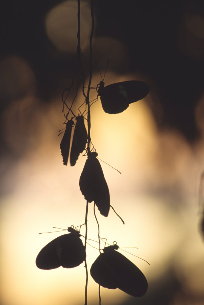 Nighttime assemblage of sleeping longwing butterflies clinging to aerial roots, a communal roosting site, silhouetted by the setting sun. Heliconius species.  Wings of Wonder Butterfly Conservatory, Cypress Gardens, Florida, USA. Photographed under controlled conditions : Stock Photo