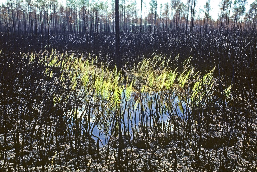 Regrowth of bracken ferns in Okefenokee Swamp after a fire. Pteridium species.  Okefenokee Swamp, southeastern Georgia, USA. : Stock Photo
