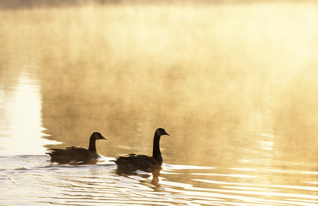 Pair of Canada geese on a misty pond at sunrise. Branta canadensis.  Bernheim Arboretum and Research Forest, Clermont, Kentucky, USA. : Stock Photo