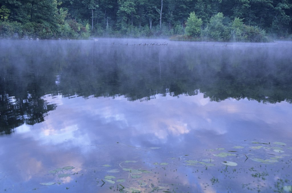 Stock Photo: 1899-50184 Dawn reflections at Goose Pond, added to the Walden Pond State Reservation in 2002. Canada geese in background mist. Branta canadensis. Goose Pond retains the beauty and tranquility that inspired Henry David Thoreau, now largely lost at neighboring Walden Pond, which has become an overpopulated public recreation area attracting a quarter of a million swimmers each summer. Concord, Massachusetts, New England, USA.