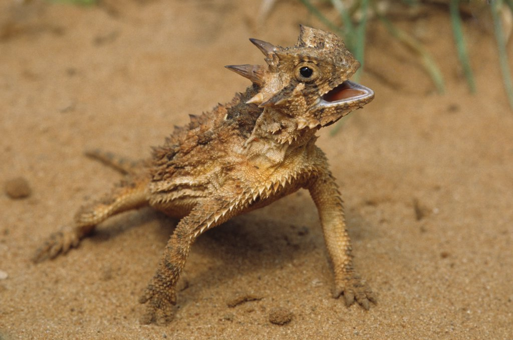 Behaviorial thermoregulation by a Texas horned lizard, panting with body elevated above hot sand. Phrynosoma cornutum. This species is the official State Reptile of Texas, where it is Threatened from habitat loss.  Image from the Valley Land Fund Photo Contest. Rio Grande Valley, Hidalgo County, Texas, USA. : Stock Photo