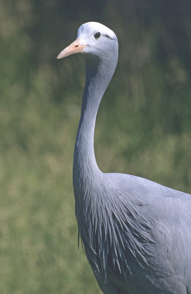 Blue crane. Anthropoides paradiseus.  International Crane Foundation, Baraboo, Wisconsin, USA. Photographed under controlled conditions : Stock Photo