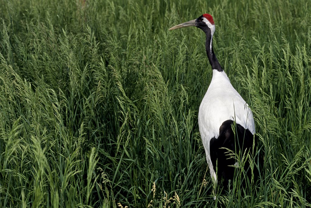 Red-crowned crane, a declining species endangered from degradation and loss of its wetland habitat. Grus japonensis, formerly known as Ardea japonensis. Its small and declining population is native to areas in Russia, Mongolia, China, Korea, and Japan. This female, named Zhalong, is part of a captive-breeding conservation program. International Crane Foundation, Baraboo, Wisconsin, USA. Photographed under controlled conditions : Stock Photo