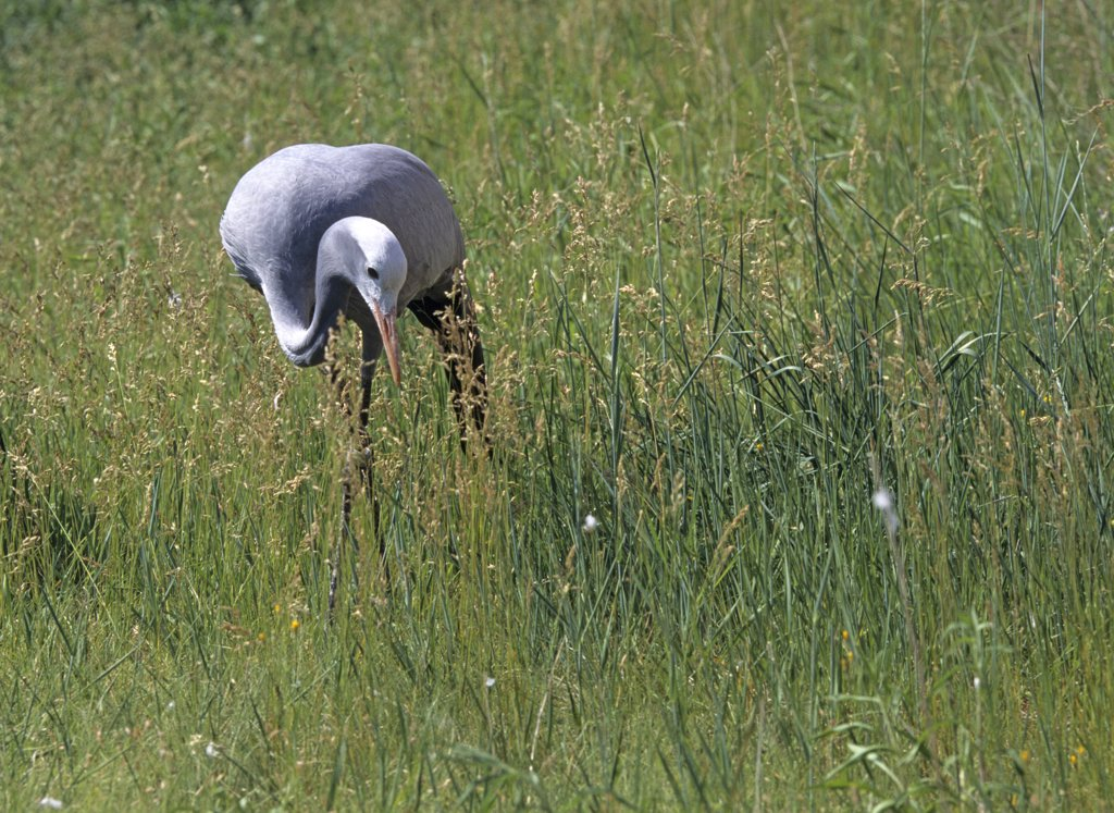 Blue crane foraging. Anthropoides paradiseus, previously known as Ardea paradisea. This Threatened species is endemic to southern Africa, with population declines stemming from agricultural poisoning and loss of grassland habitat. International Crane Foundation, Baraboo, Wisconsin, USA. Photographed under controlled conditions : Stock Photo