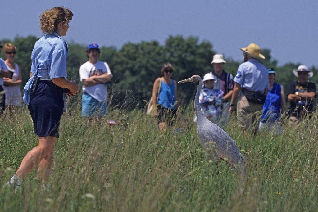 Bird enthusiasts get a lesson in conservation and crane biology with a young brolga crane in their midst at the International Crane Foundation. Grus rubicunda, formerly known as Ardea rubicunda and Grus rubicundus.  International Crane Foundation, Baraboo, Wisconsin, USA. : Stock Photo