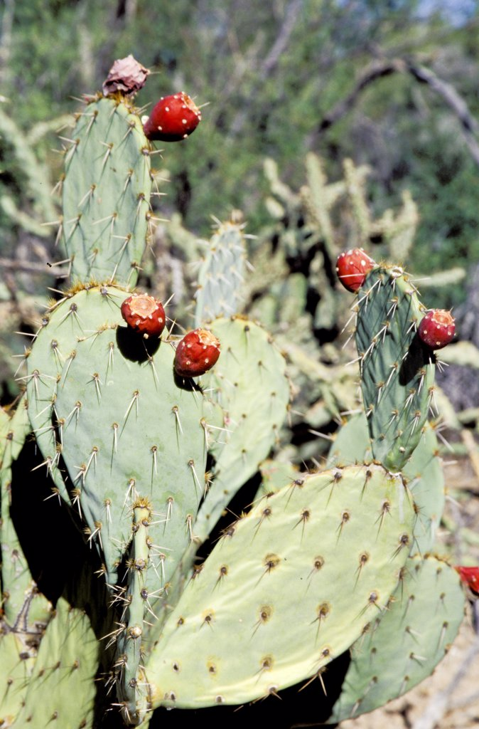 Stock Photo: 1899-53815 Arizona. Organ Pipe Cactus National Monument. Prickly Pear Cactus Blooming. Opuntia (Cactaceae)