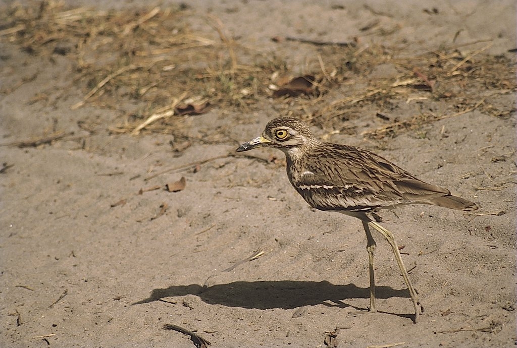 Stock Photo: 1899-54564 Stone Curlew (Burhinus Oedicnemus), Ranthambore Wildlife Sanctuary, Rajasthan, India.
