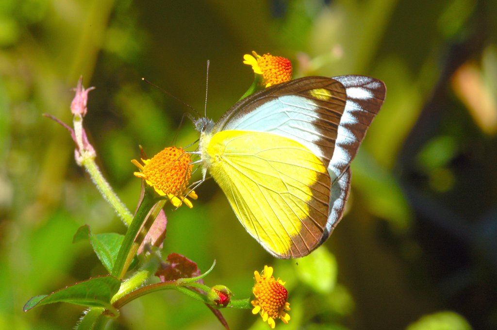 Stock Photo: 1899-54625 Butterfly, Chocolate Albatross