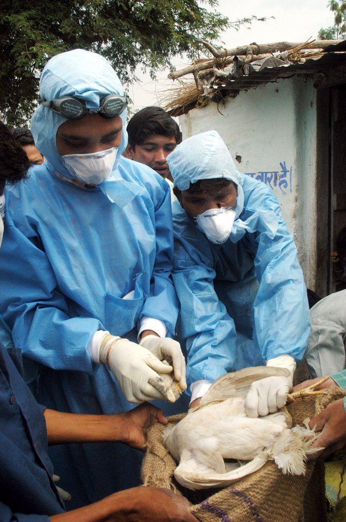 Stock Photo: 1899-54740 Government Health Workers Go House To House To Cull Infected Chickens In The Backyard Of The Villager'S Houses At Hingona Village In Jalgaon District As Bird Flu Is Detected In Maharashtra, India