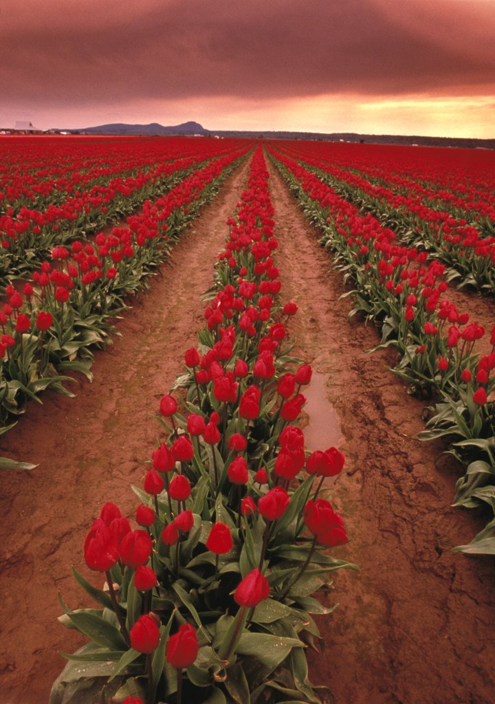 Rows Of Hot Pink Tulips In Field : Stock Photo