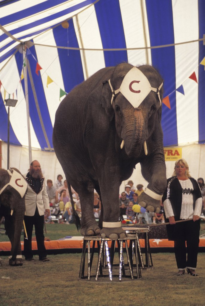 Stock Photo: 1899-58052 Elephant Balancing On Stools During Circus Act.