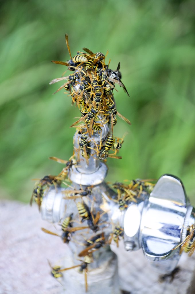 Stock Photo: 1899-59094 Wasps On Water Fountain