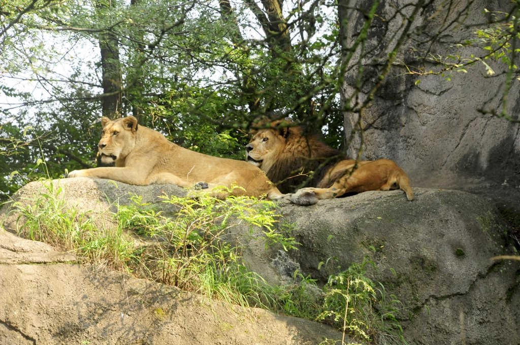 Stock Photo: 1899-59243 Lions, Pittsburgh Zoo