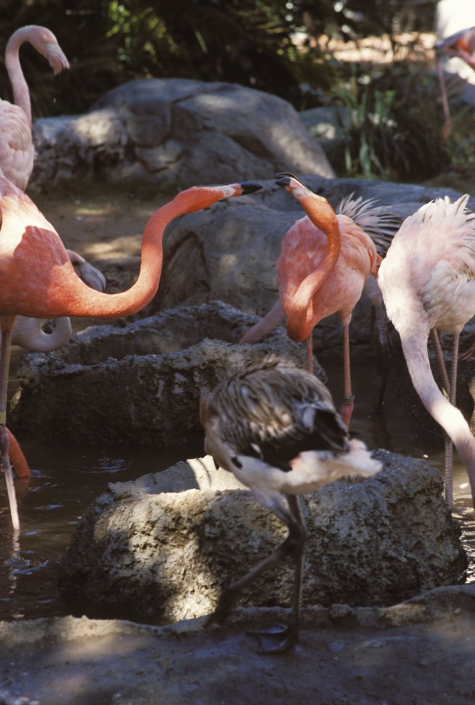 Stock Photo: 1899-60186 Louisiana. New Orleans. Audubon Zoo. Flamingos.