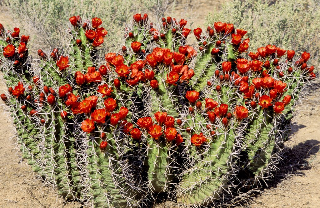Stock Photo: 1899-61576 New Mexico. Claret Cup Cactus